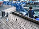 Pigeons at Auckland waterfront