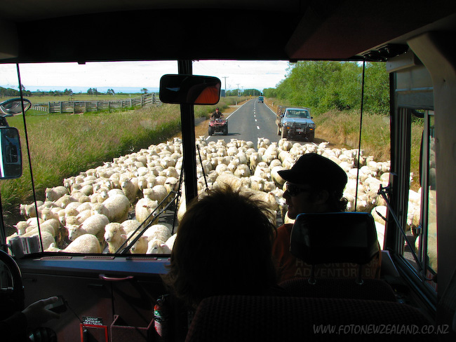 Sheep on the road in front of a bus in South Island New Zealand