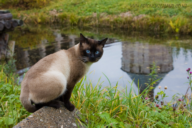 Siamese cat by the pond
